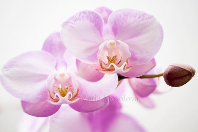 Phalaenopsis Wen Ming Rainbow 'Fantastic'