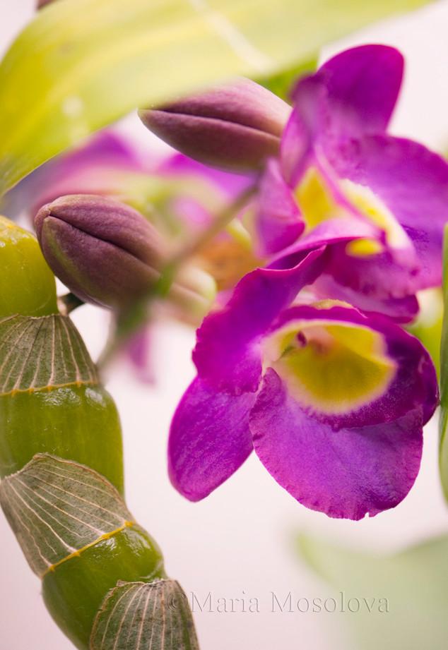 Dendrobium orchid Comet King 'Akatsuki'