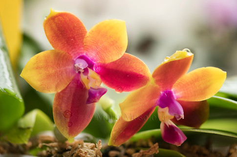 Phalaenopsis Zheng Min Muscadine X Mituo Prince '110'