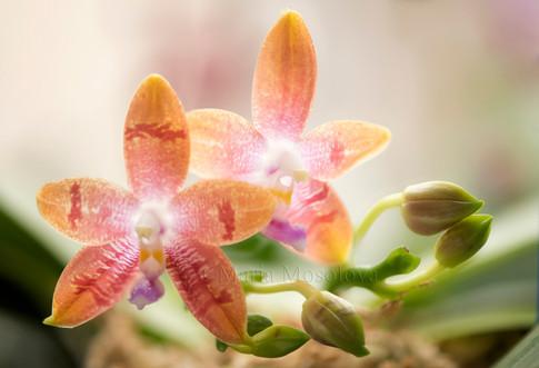 Phalaenopsis Yaphon Oh Mygod