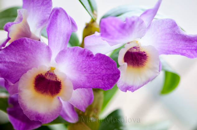 Dendrobium Country Girl 'Warabeuta'