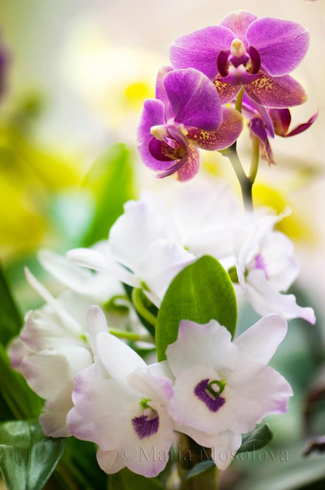 Dendrobium Himezakura 'Sanokku'  Orchid and Phalaenopsis Meidarland Pride