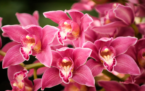 Bright Pink Cymbidium Orchid Flowers