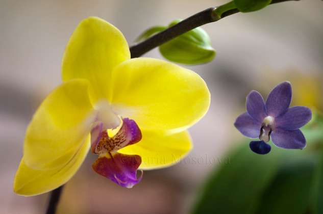 "Phalaenopsis Orchids Fuller's Sunset 'Golden Sun' and Purple Martin ""Champion"""