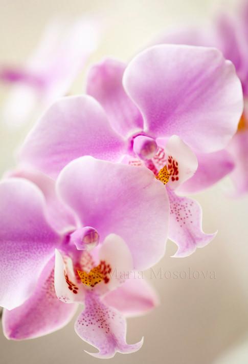 Phalaenopsis species