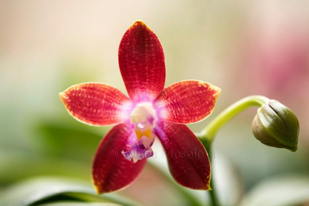 Phalaenopsis Tying Shin Fly Eagle 'Wilson'
