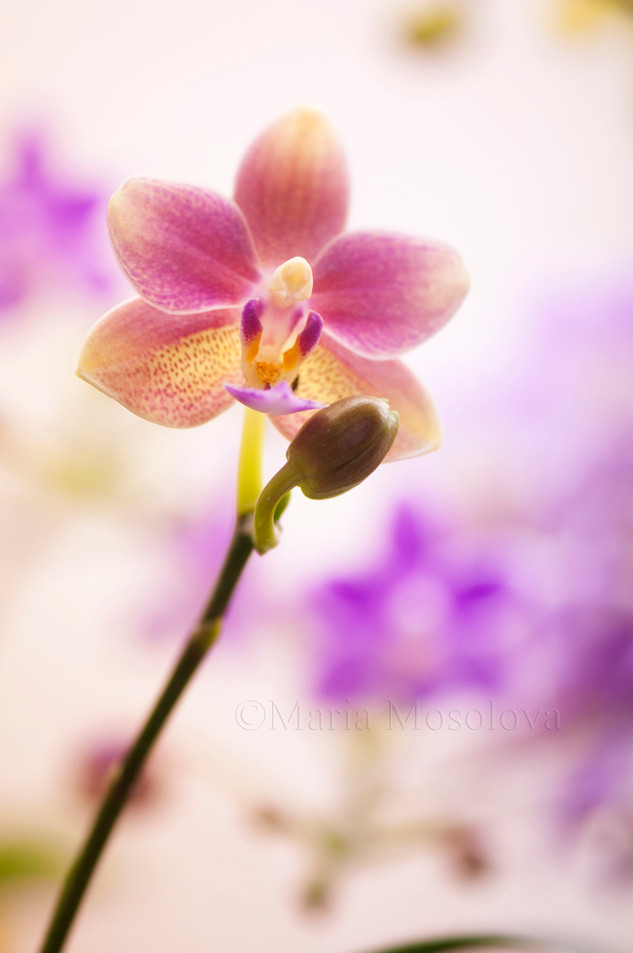 Phalaenopsis Orchid Tzu Chiang Balm 'OT0076'