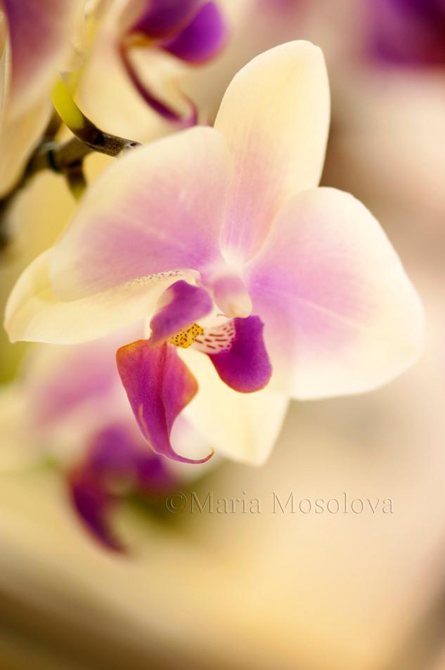 Phalaenopsis Jiaho Kitty Face 'Rainbow'