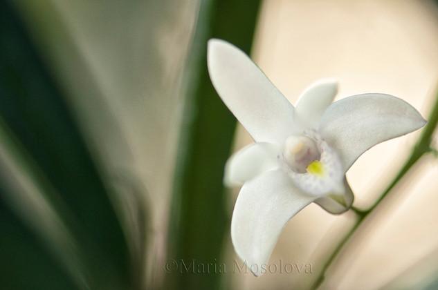 Dendrobium delicatum Orchid Flower