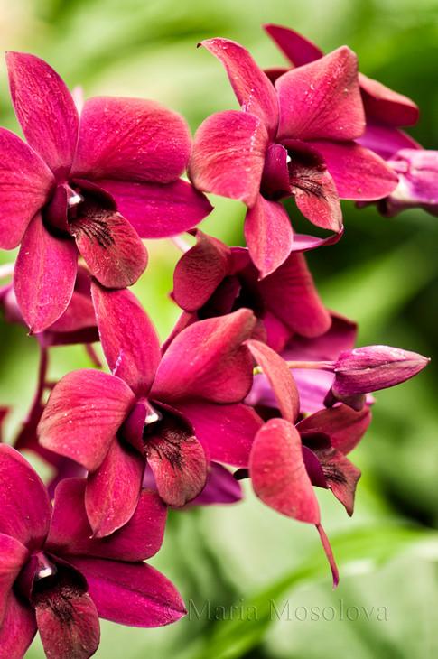 Dendrobium Hybrid Orchid  Black Cat