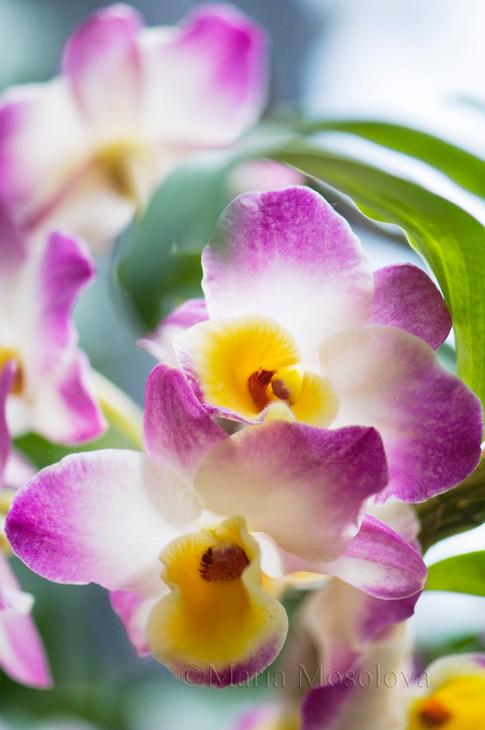 Dendrobium Lucky Angel 'Smash'