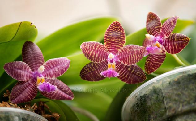 Phalaenopsis Chienlung Sunshine