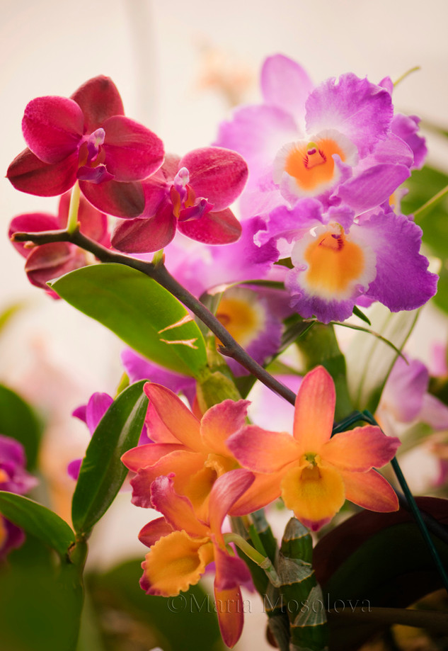 Dendrobiums Comet King 'Akatsuki' and Oriental Smile 'Fantasy'