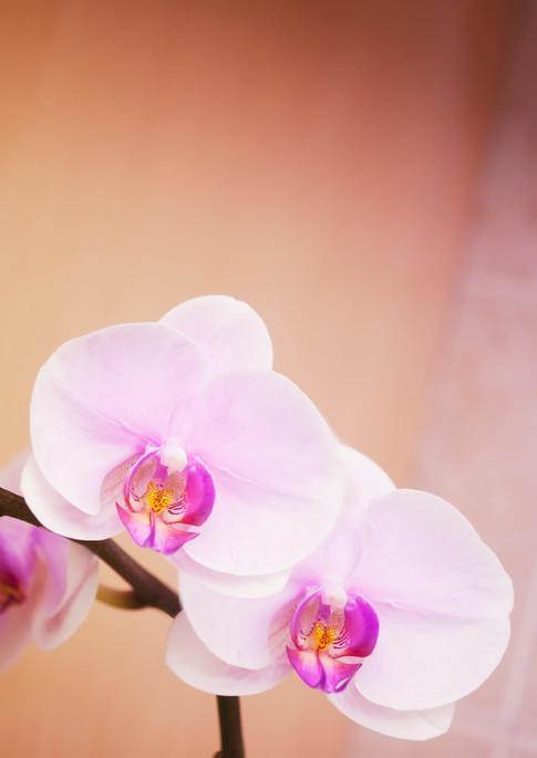 Phalaenopsis Orchid Hinamatsuri 'Blushing Bride'