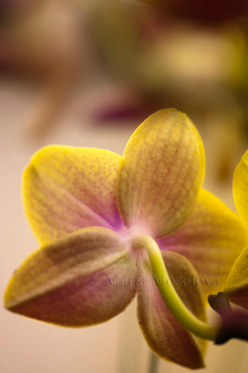 Phalaenopsis Sogo Lawrence 'F1982'
