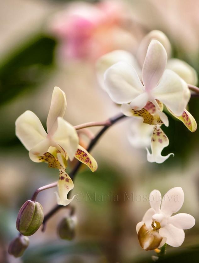 Phalaenopsis stuartiana and phalaenopsis lobii species