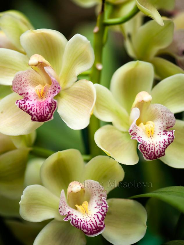 Light Lime Green Cymbidium Orchid