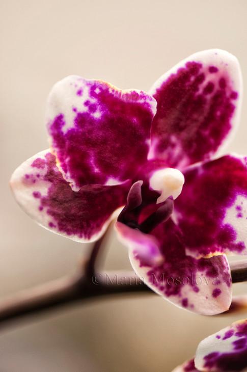 Phalaenopsis Sogo Chabstic 'Vini Harl'