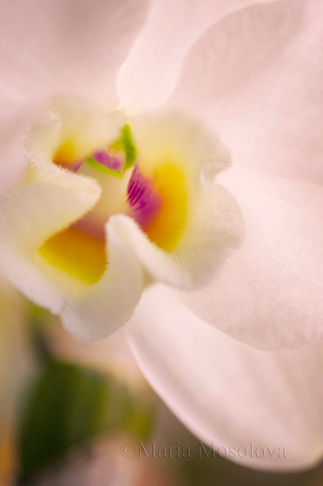 Dendrobium To My Kids 'Fantastic Story'