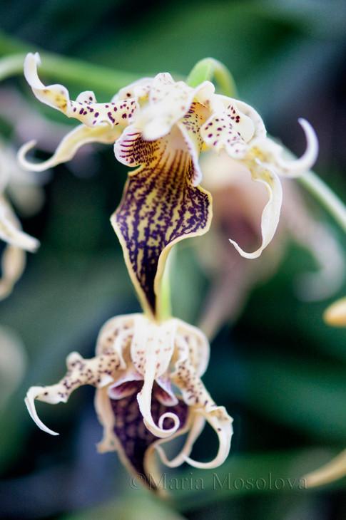 Dendrobium alexandrae orchid flowers