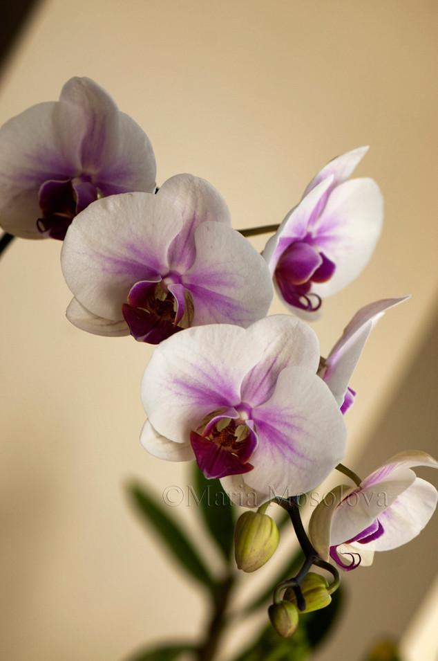 Phalaenopsis Mount Lip 'FANGtastic'