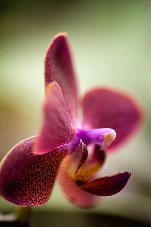 Phalaenopsis Orchid I-Hsin Sweet Strawberry