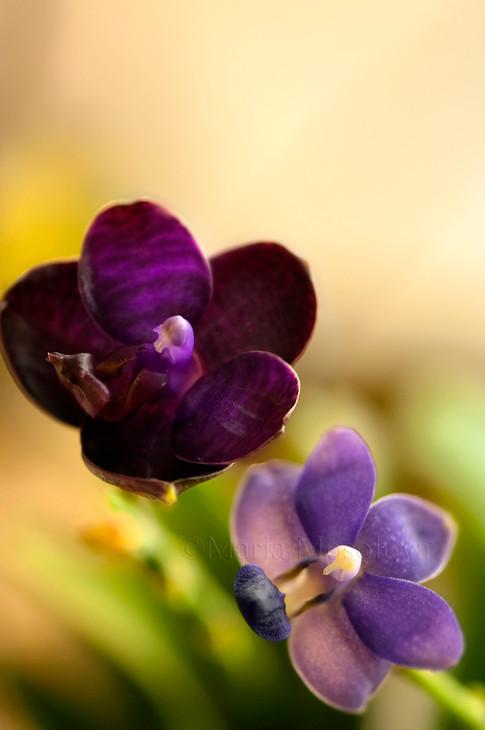 Phalaenopsis Orchid I-Hsin Spot Eagle 'Montclair' AM/AOS   and Doritaenopsis Orchid Purple Martin 'Champion'
