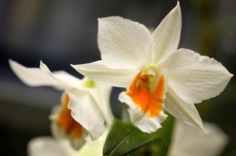 Dendrobium Christy Dawn