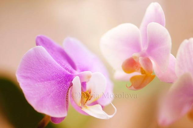 Phalaenopsis Glad Dawn 'Pink Cheer' and Phalaneopsis Hilo Lip 'Newberry' x Phal Mary Brooks 'Mendenhall' AM/AOS