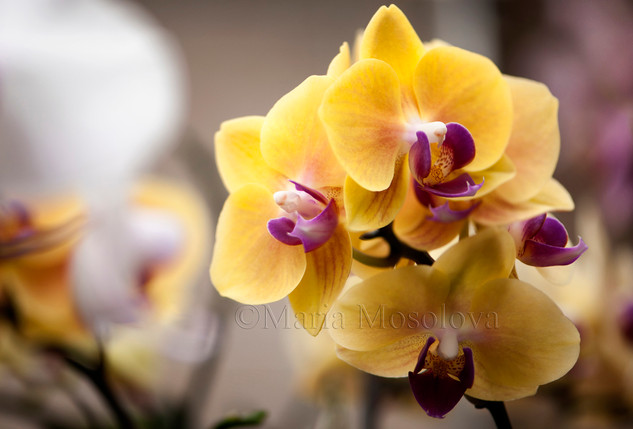 Phal. Fangmei Sweet 'Canary'