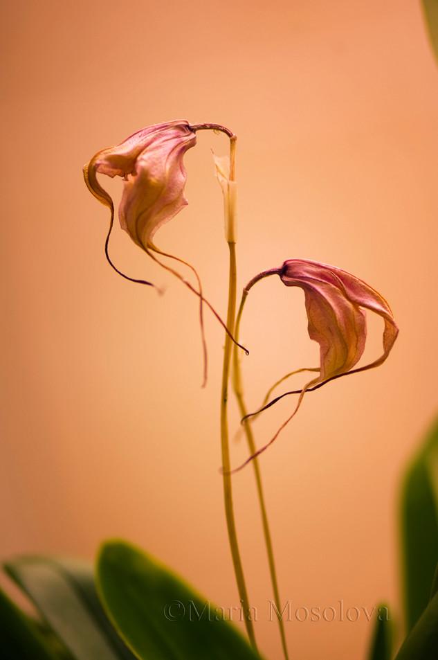 Two Faded Masdevallia Flowers Turned the Opposite Ways