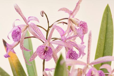 Spotted Flowers of Brassocattleya Orchid Maikai Louise