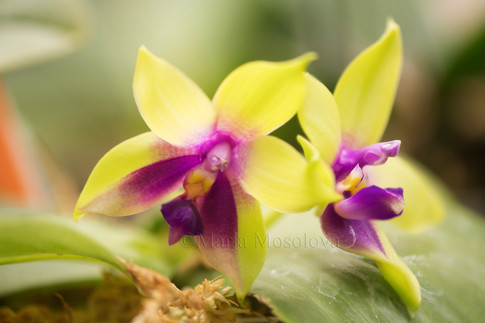 Two Blooms of Phalaenopsis Yin's Bellina Kaiulani x LD's Bear Queen