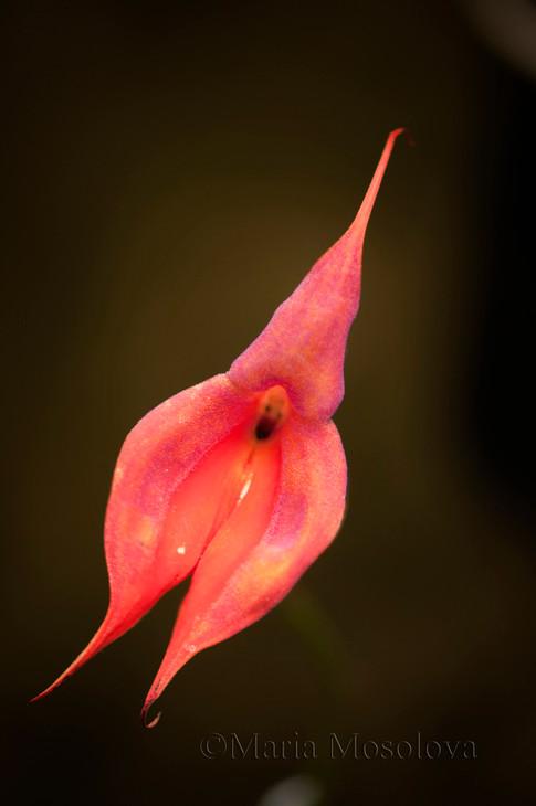 Masdevallia Redwing