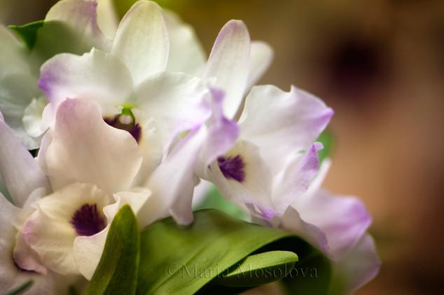 Dendrobium Himezakura 'Sanokku'  Orchid