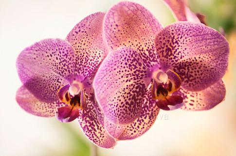 Phalaenopsis I-Hsin Spot Leopard 'Coral'