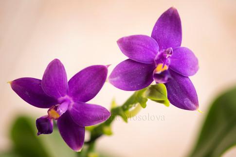 Phalaenopsis violacea flowers