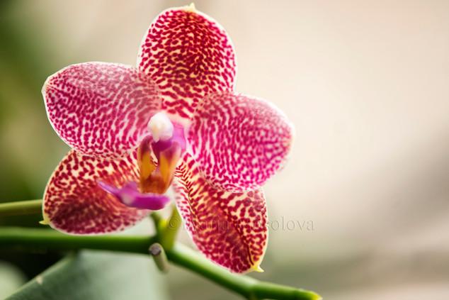 Phalaenopsis Orchid (Mituo Sun X KS Super Zebra 'Peter Lin')