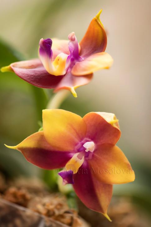 Phalaenopsis  Zheng Min Lavender