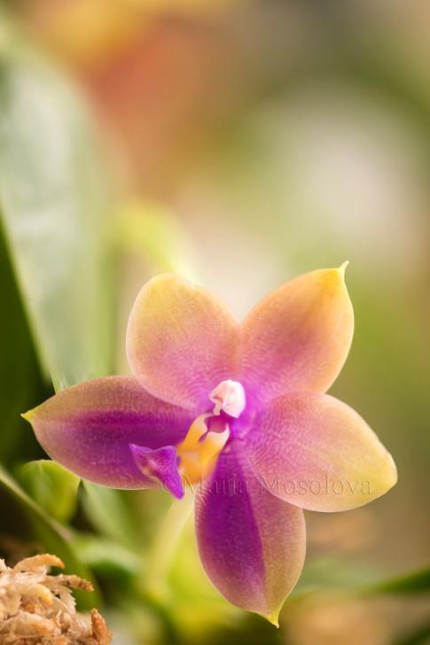 Phalaenopsis Mituo Samera