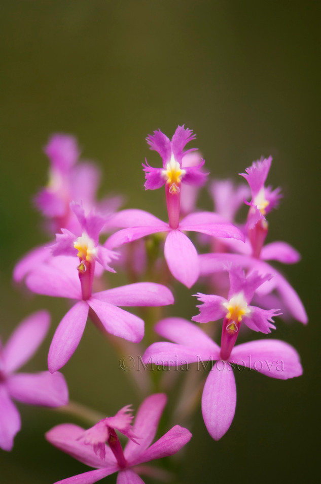 Pink Epidendrum Orchid