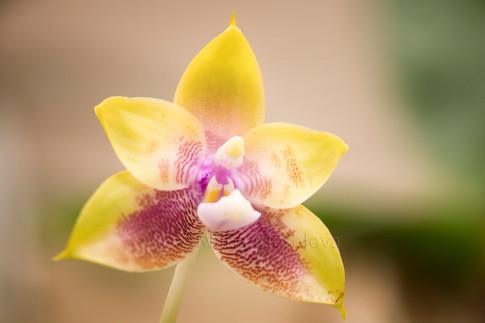 Phalaenopsis (Zheng Min Muscadine X Mituo Prince '110')