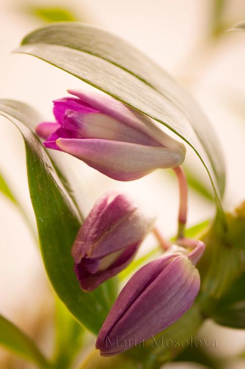 Dendrobium nobile Orchid Buds