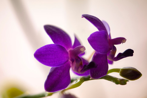 Phal.  Sapphire's Galah. Two Flowers and a Bud