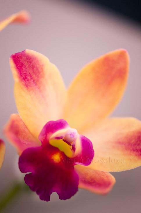 Mini Cattleya Orchid Newberry Ruby Flower