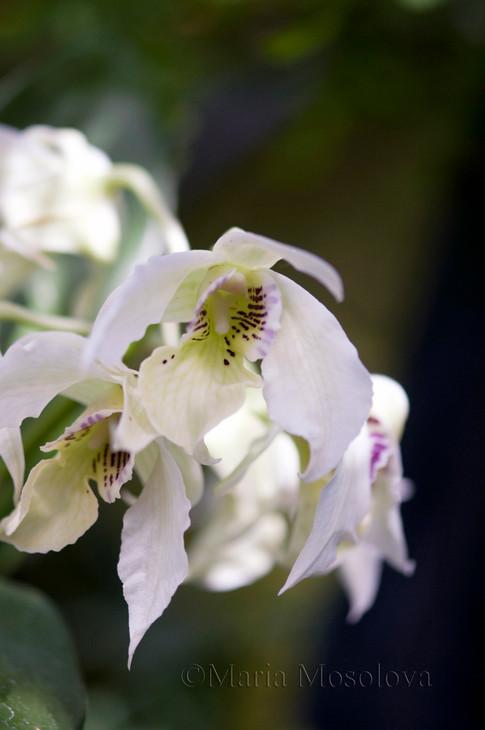 Dendrobium latouria hybrids