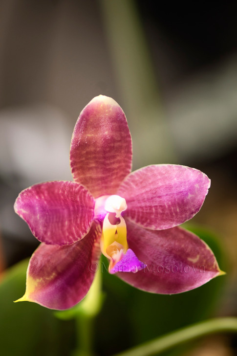 Phalaenopsis (Hannover Passion X Pylo's Sweet Purple). Seedling #2