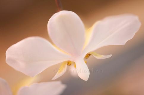 A close up of nodding phalaenopsis stuartiana flower