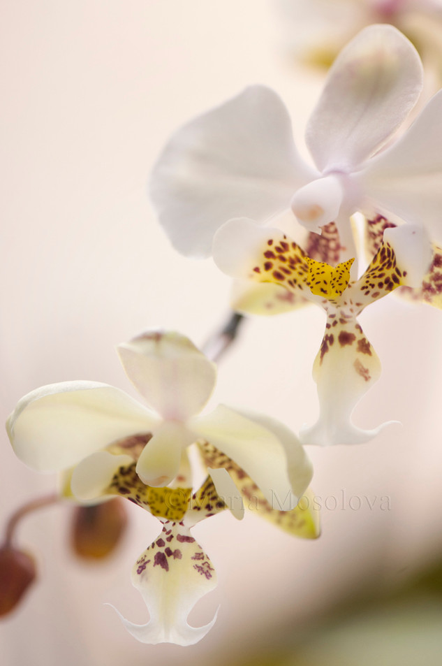 Two flowers of phalaenopsis stuartiana