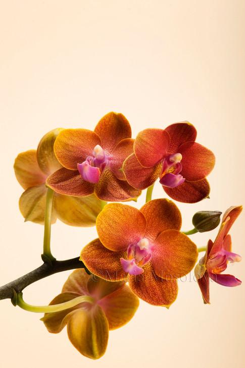 Phalaenopsis Tying Shin Forever